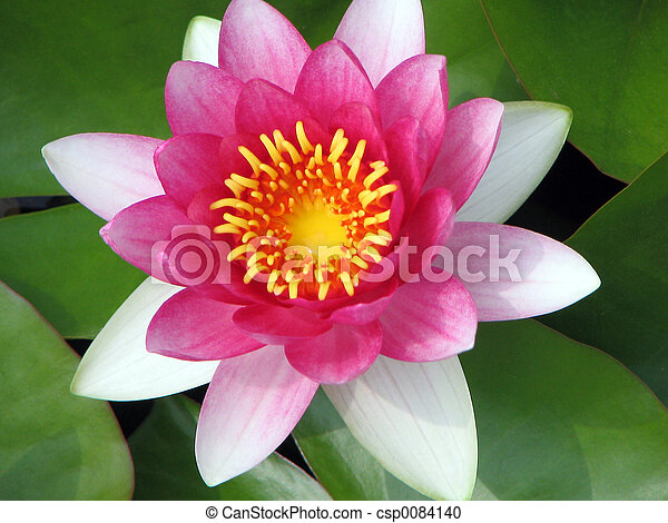 Pink lotus flower pink lotus flower top view pink lotus flower csp0084140 mightylinksfo
