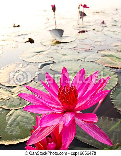 Pink lotus in lake - csp16056478