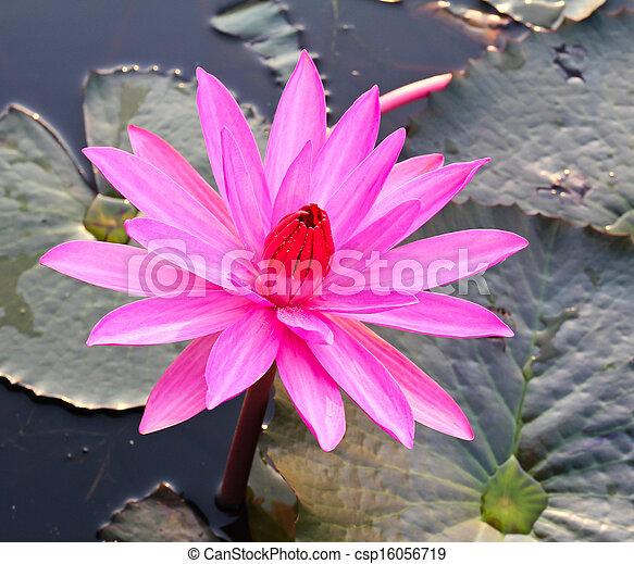 Pink lotus in lake - csp16056719