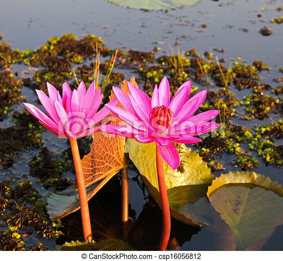 Pink lotus in lake - csp16056812