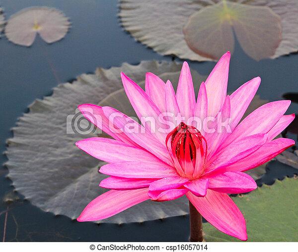 Pink lotus in lake - csp16057014