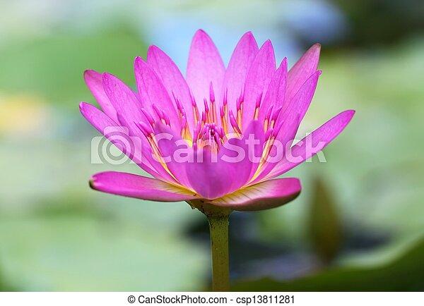 Pink lotus in lake - csp13811281