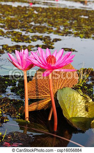 Pink lotus in lake - csp16056884