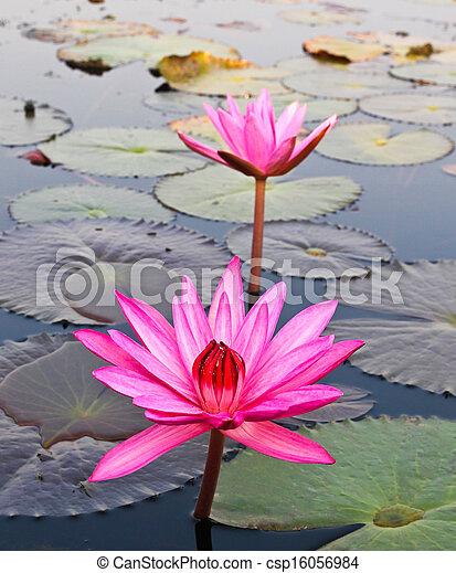 Pink lotus in lake - csp16056984