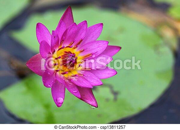 Pink lotus in lake - csp13811257