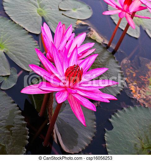 Pink lotus in lake - csp16056253