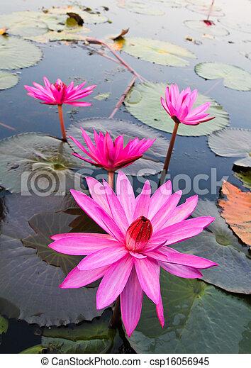 Pink lotus in lake - csp16056945