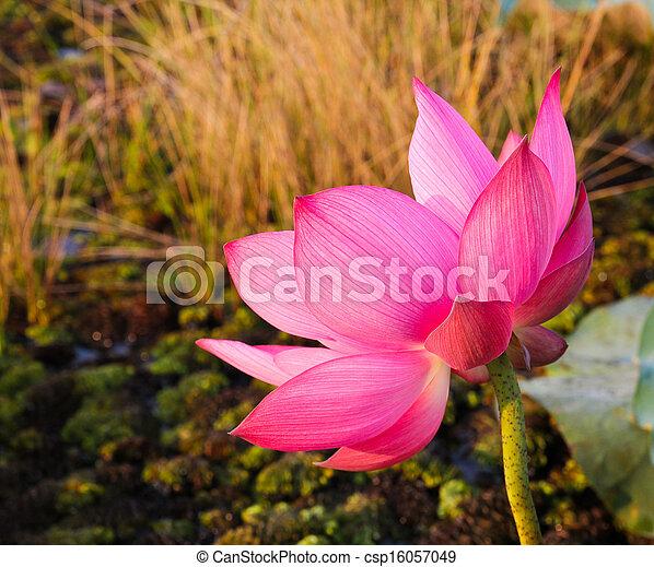 Pink lotus in lake - csp16057049