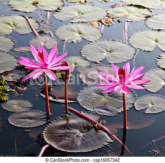Pink lotus in lake - csp16057342