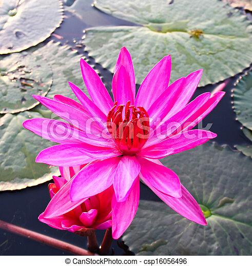 Pink lotus in lake - csp16056496