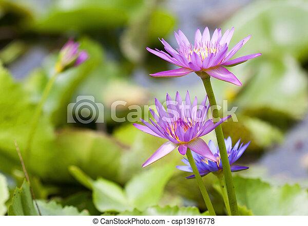 Pink lotus in pond - csp13916778