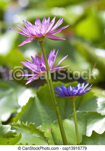 Pink lotus in pond - csp13916779