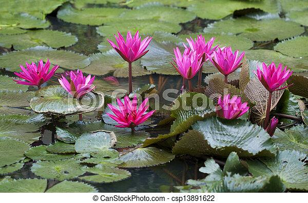 Pink lotus in pond - csp13891622