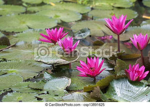 Pink lotus in pond - csp13891625