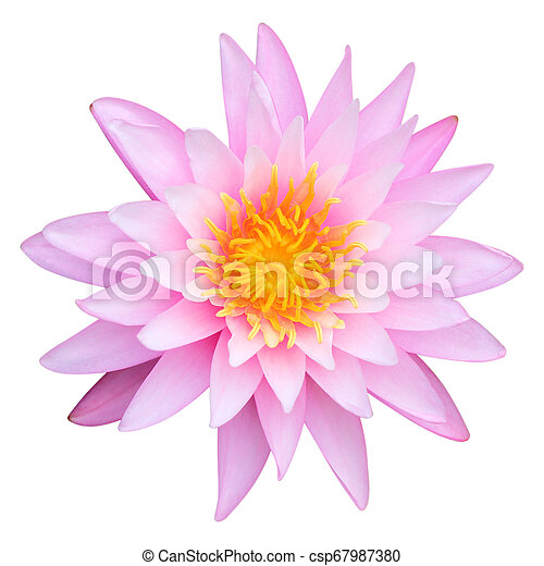 Pink lotus isolated on white background - csp67987380