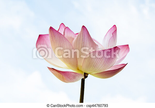 pink lotus isolated on white background - csp44760793