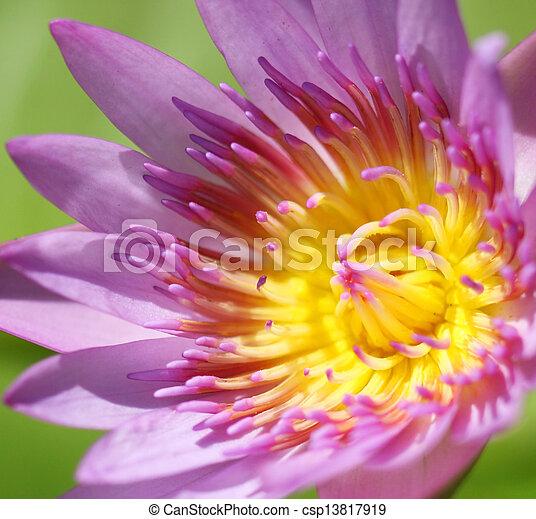 Pink lotus - csp13817919