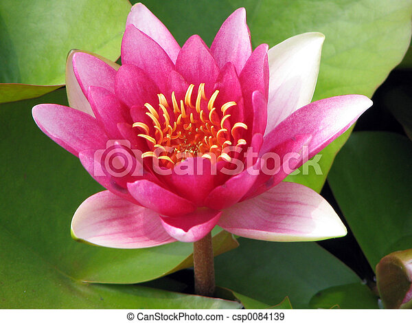 Pink lotus - csp0084139