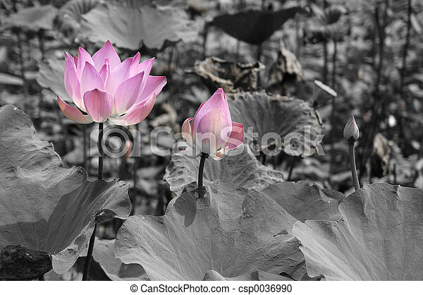 Pink lotus a pink lotus flower stands lonely in a black and white pink lotus csp0036990 mightylinksfo