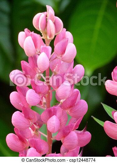 Pink Lupin Flower - csp12448774