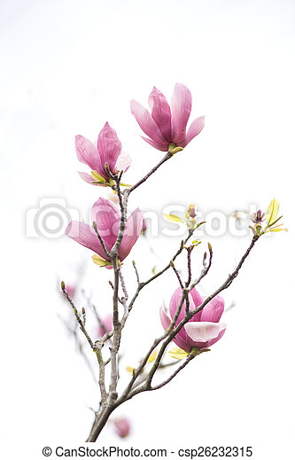 Pink magnolia flowers isolated on white background pink magnolia flowers isolated on white background csp26232315 mightylinksfo