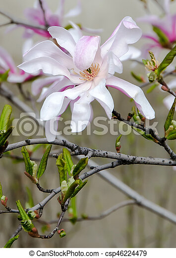 Pink Magnolia Tree Branch Flowers Family Magnoliaceae Close Up