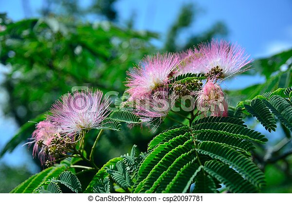 Pink Mimosa Flowers Pink Mimosa Or Silk Tree Flowers
