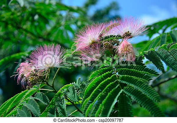 Pink mimosa flowers pink mimosa or silk tree flowers pink mimosa flowers csp20097787 mightylinksfo