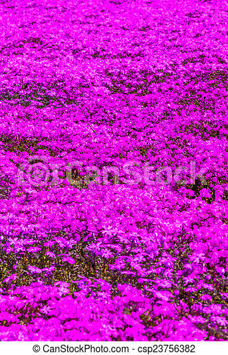 Pink moss phlox flowers and red of one side pink moss phlox flowers csp23756382 mightylinksfo