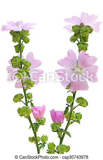 Pink musk mallow malva moschata flower plant pink musk mallow csp30743978 mightylinksfo