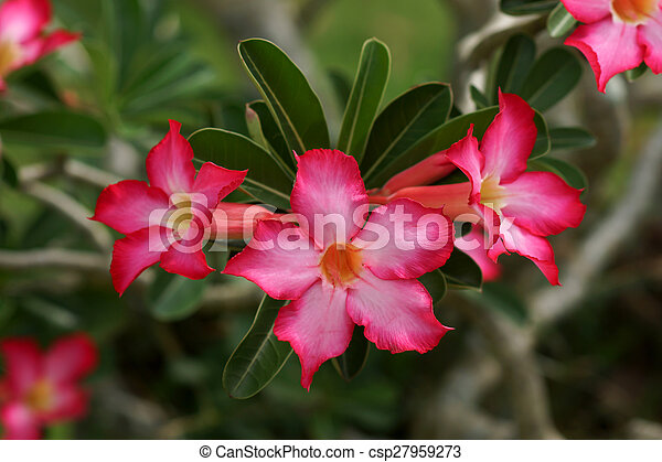 Pink of desert rose flower plants with beautiful colorful flowers mightylinksfo