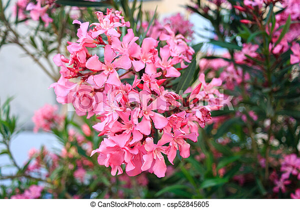 Amazing pink oleander flowers close up natural background pink oleander flowers close up csp52845605 mightylinksfo