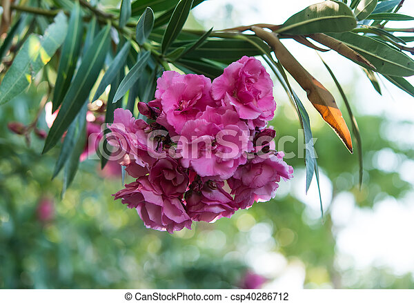 Pink oleander flowers natural bouquet closeup pink oleander flowers csp40286712 mightylinksfo