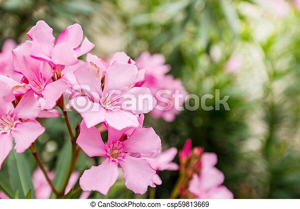 pink oleander or nerium flower close up view pink oleander or