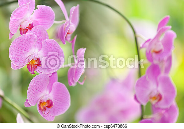 pink orchid flower - csp6473866