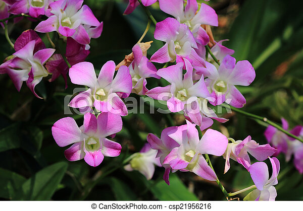 pink orchid flowers in garden - csp21956216
