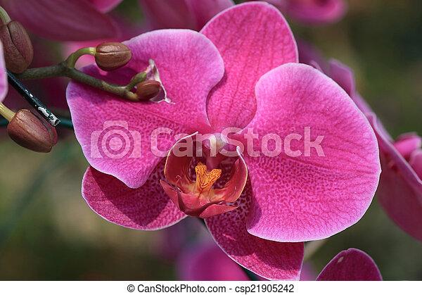 pink orchid flowers in garden - csp21905242