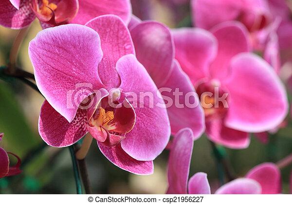 pink orchid flowers in garden - csp21956227