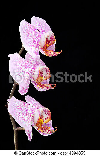 Pink orchid on a black background - csp14394855