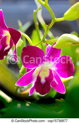 Pink orchid - pink flowers in the garden. - csp15736877