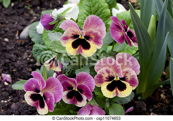 Pink pansy flowers blossom in the park of grenoble france mightylinksfo