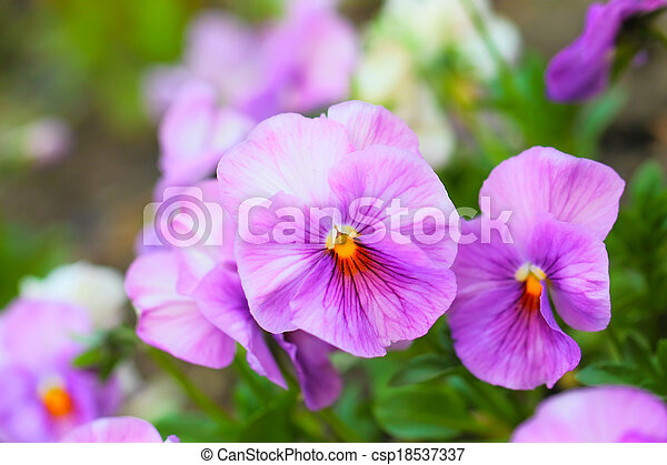 Pink pansy flowers on flower bed close up pink pansy flowers on flower bed csp18537337 mightylinksfo