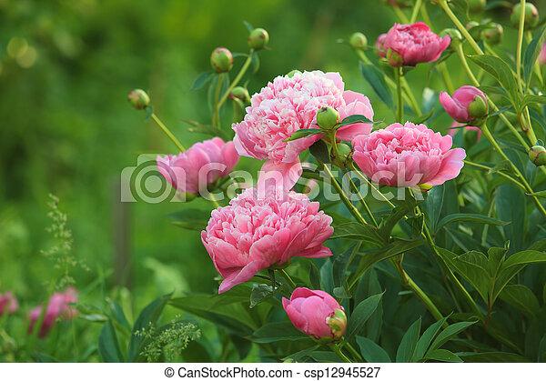 Pink Peony - csp12945527
