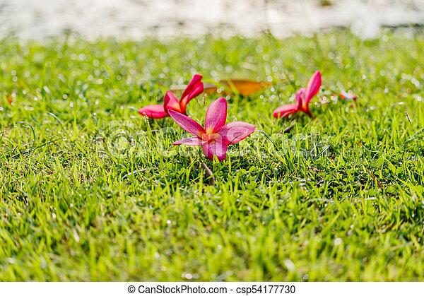 Pink Plumeria flowers on the green grass in garden. - csp54177730