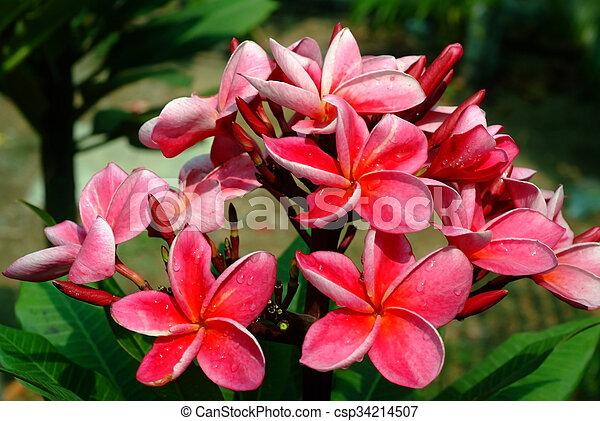 Pink plumeria flowers plumeria mightylinksfo