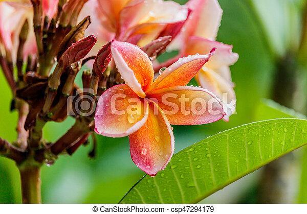 Pink plumeria on the plumeria tree in garden - csp47294179