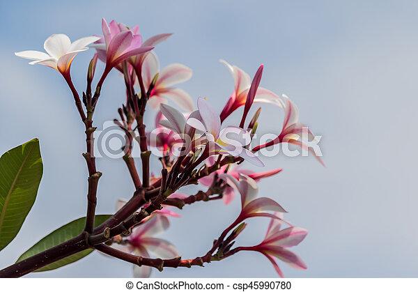 Pink plumeria on the plumeria tree in garden - csp45990780