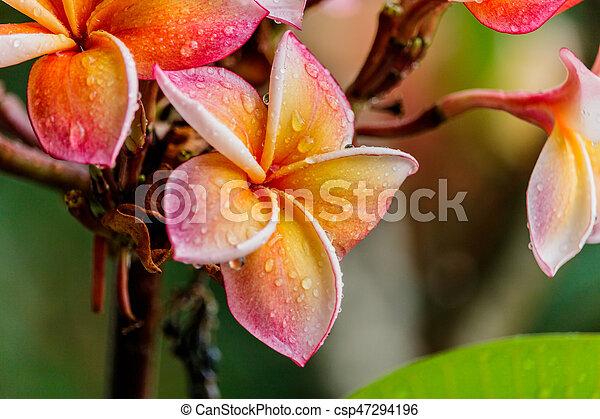 Pink plumeria on the plumeria tree in garden - csp47294196