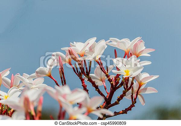 Pink plumeria on the plumeria tree in garden - csp45990809