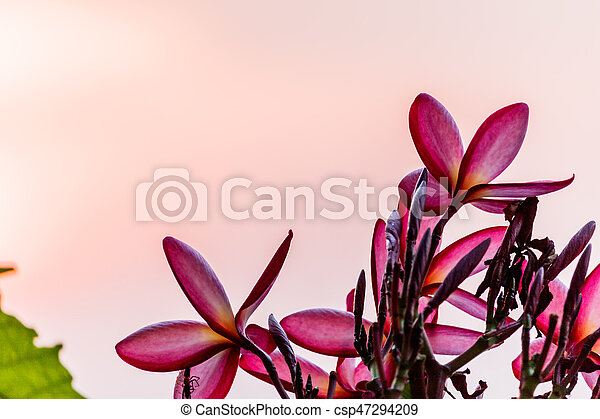Pink plumeria on the plumeria tree in garden - csp47294209